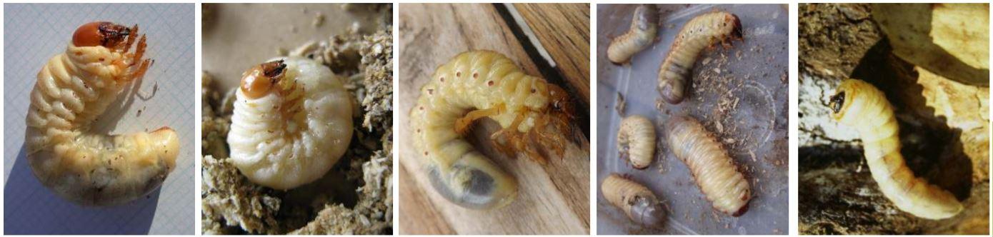 image identification larves coléoptères