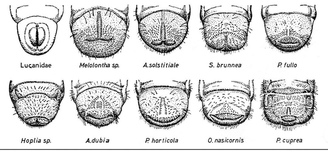 identification des vers blancs par leur arrière
