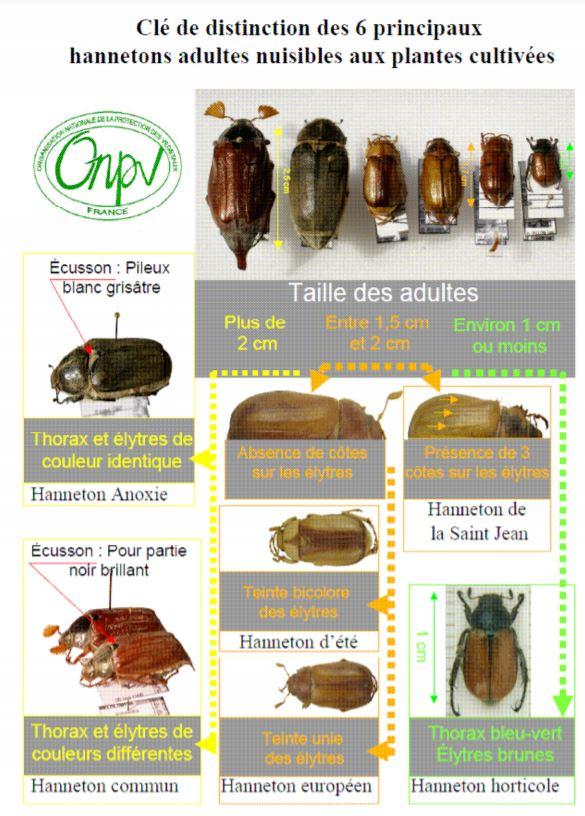 identification de différentes espèces de hannetons