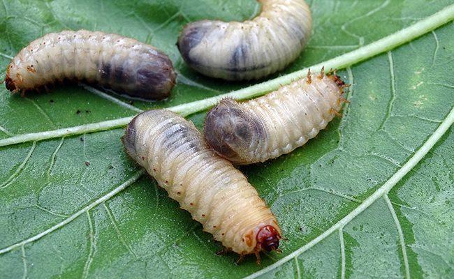 larve de cétoine