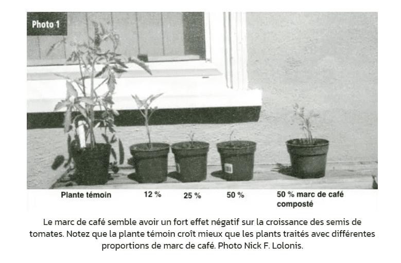 marc de café inhibiteur de croissance pour les tomates